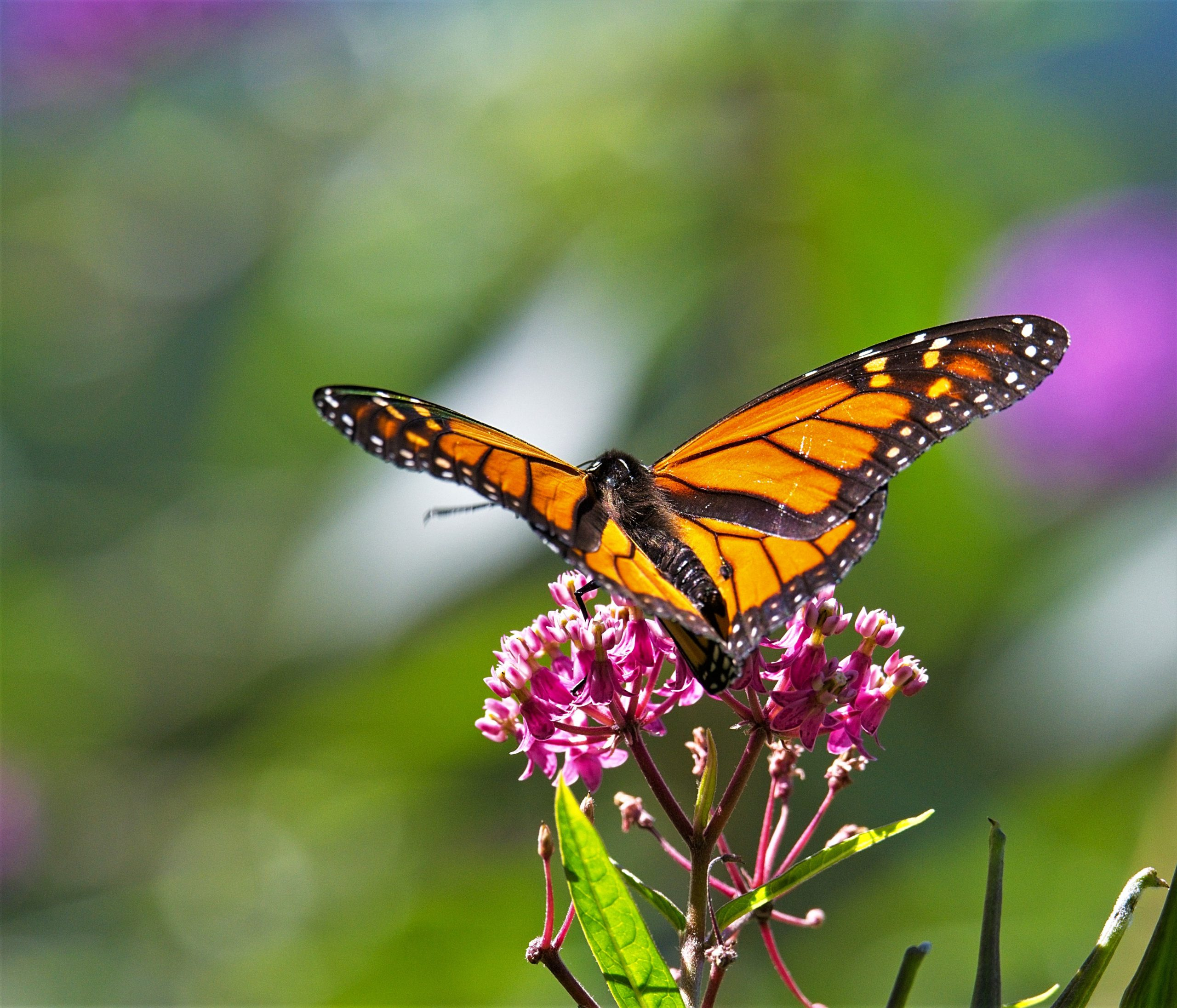 DOUG GAUDETTE, UNTITLED: Monarch butterflies are both beautiful and fun to photograph. Even though I'm feeling fatigued or a bit dizzy at times, I can sit in my chair and photograph these beautiful creatures. It reminds me that I can still do many of the things I like to do. The monarchs are both delicate and strong, a very nice combination. Although they will be heading south very soon, they will be back in the late spring and I'll be ready.